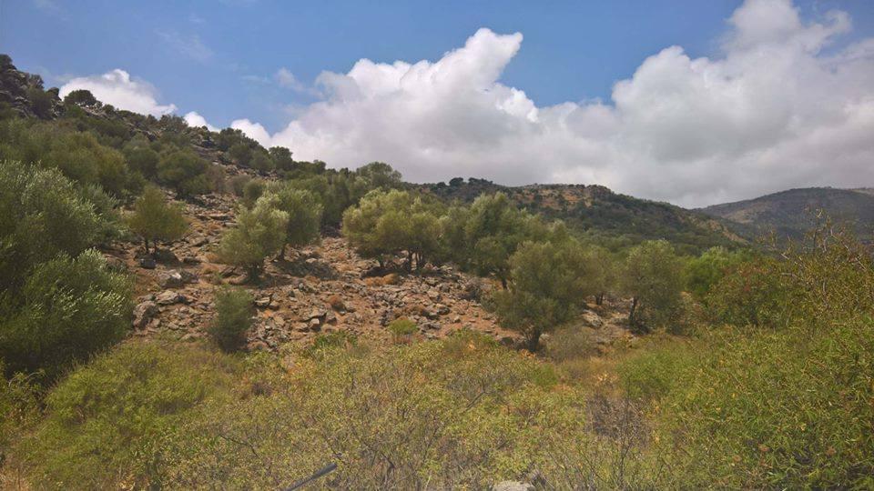 theta rocky mountain olive trees